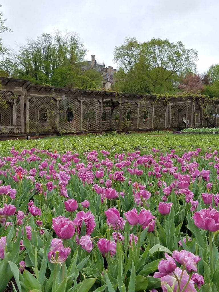 purple tulips with wooden pergola and stone house on a hill above with gray sky