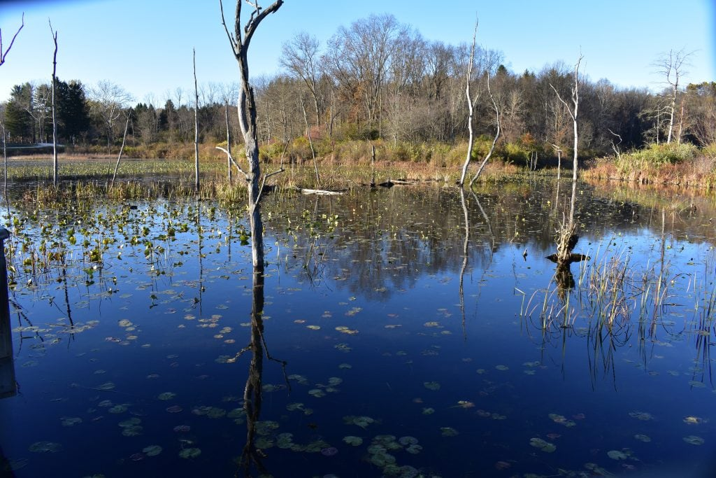 beaver marsh trees and lily pads with blue sky reflected in water