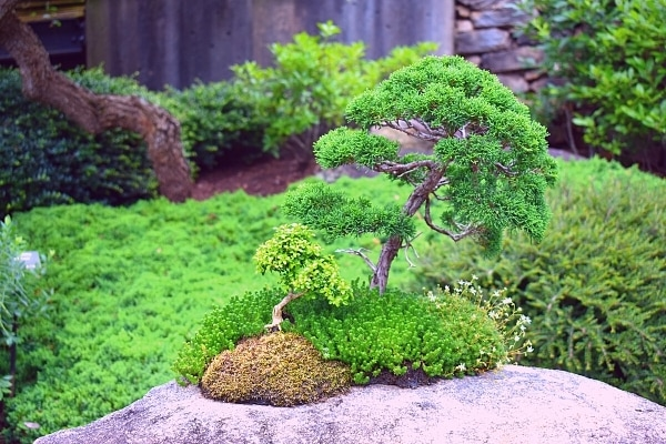 Green bonsai tree at the North Carolina Arboretum in Asheville