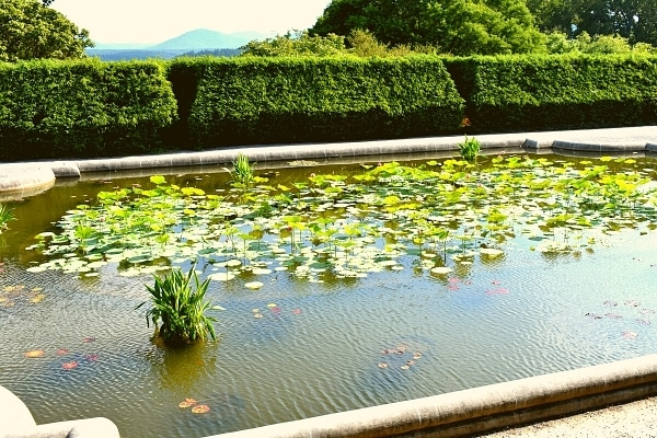 Koi pond and lily pads in the Biltmore's Italian garden, surrounded by a green hedgerow