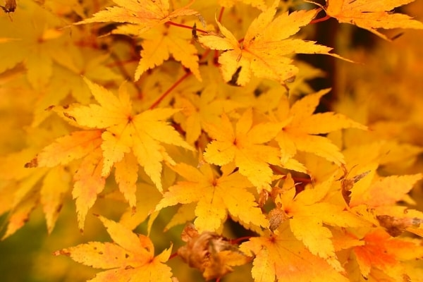 yellow leaves of a Japanese maple tree in the Biltmore Gardens during autumn