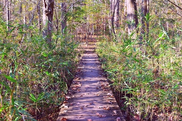 A boardwalk section of trail cuts through wetland greenery and the forest on the Oak Pinolly trail at Santee State Park, SC