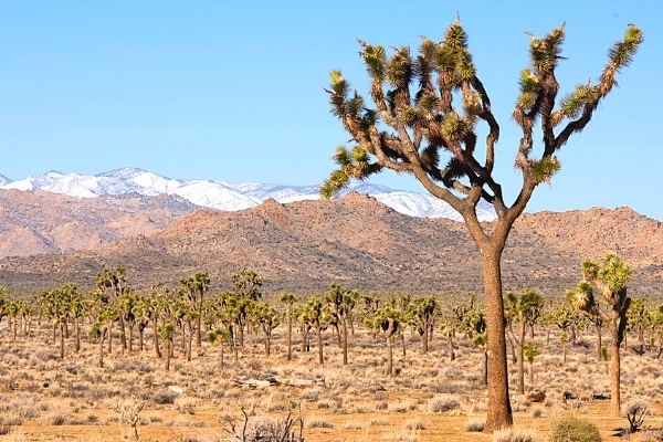 A forest of Joshua trees with a large tree in the foreground and the snowcapped mountains in the background
