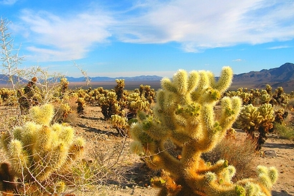 Yellow jumping cholla cacti in the desert of Joshua Tree National Park with blue sky and white clouds overhead and dark mountains in the background