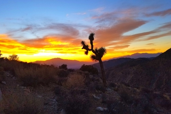 Joshua tree and scrub brush against a sunset at Keys Point in the mountains of Joshua Tree National Park