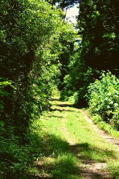 Lush green forested Bates Ferry Trail follows an old road, now just dirt tire tracks and grass, to the Congaree River