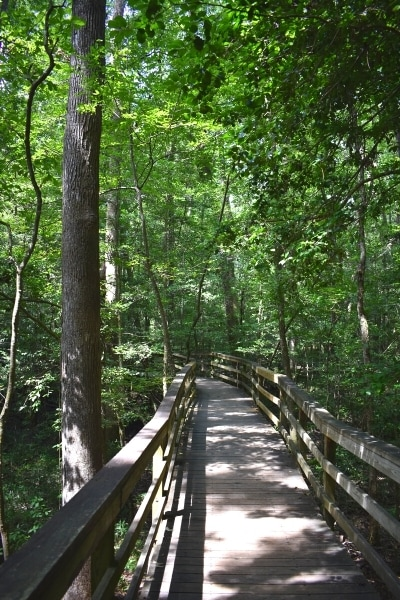 The wooden boardwalk winds its way through the green forests on Congaree National Park's Boardwalk Loop Trail