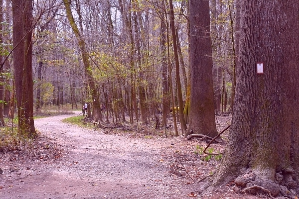 Congaree National Park's Sims Trail is a wide gravel path following an old road through the forest, marked by brown and white plaques attached to trees on the side of the trail