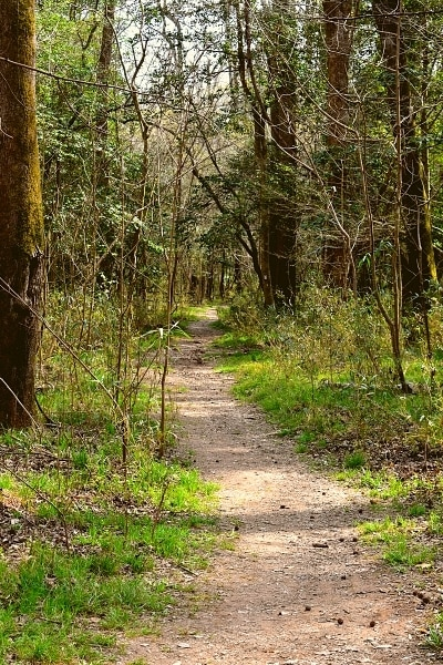 A narrower section of the Weston Lake Loop Trail disappears into the forests of Congaree National Park