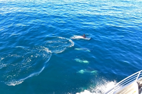 Four dolphins play in the blue waters of the Santa Barbara Channel alongside the ferry