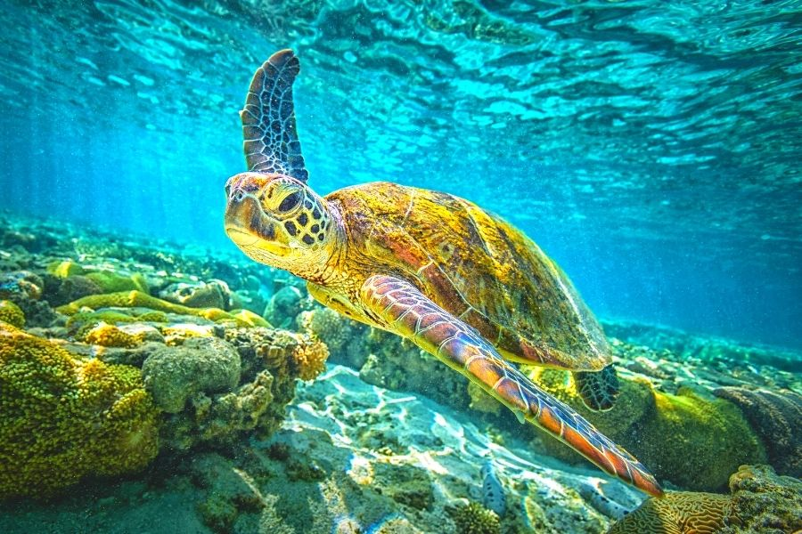 Sea turtle swimming over a rocky reef in blue water
