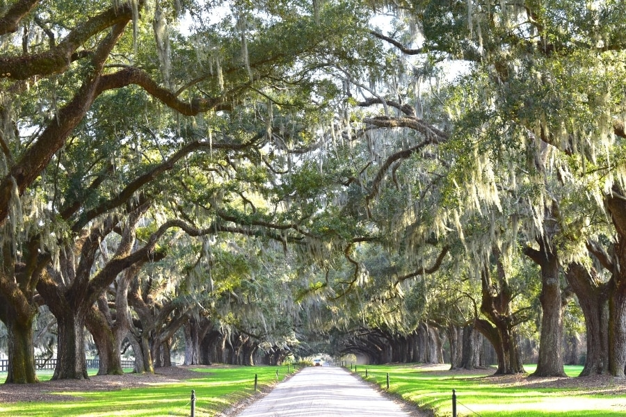 A dirt road lined on both sides by live oak trees covered in moss
