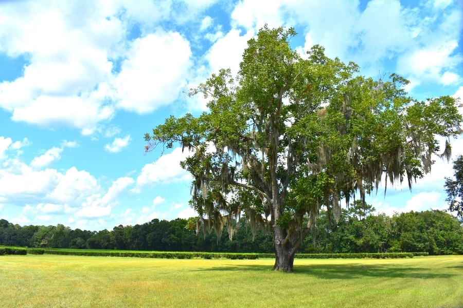 A tall live oak with drooping moss towers over the tea bushes under a blue and white sky at the Charleston Tea Garden