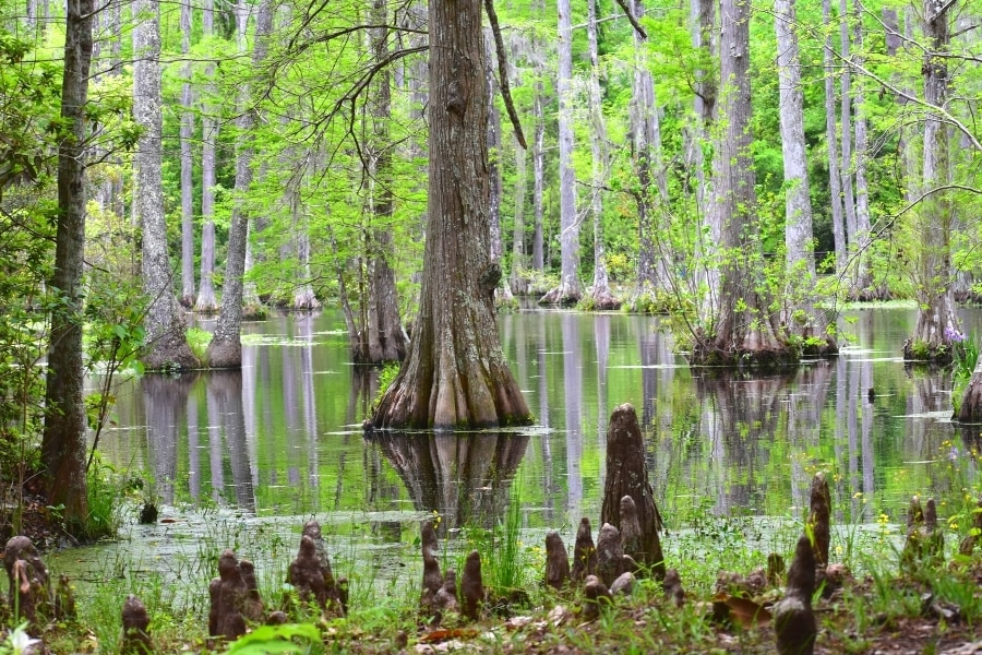 Cypress trees reflect in the water of the Cypress Gardens swamp during a spring green season