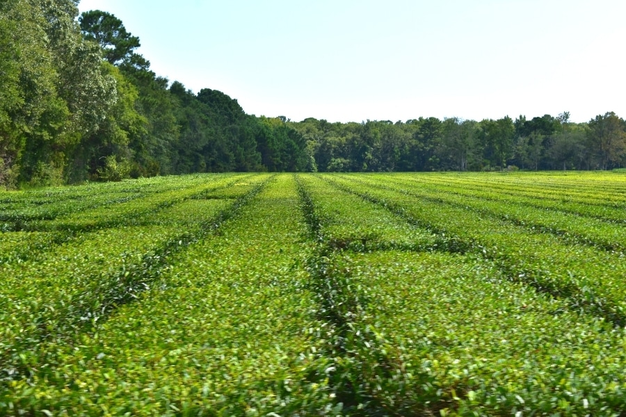 Shades of green in the tea bushes at the Charleston Tea Garden
